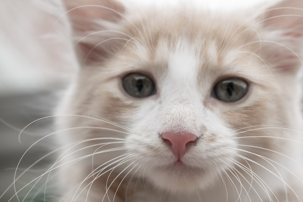 Young red-and-white cat poses for a picture.