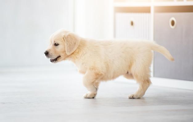 Young retriever dog