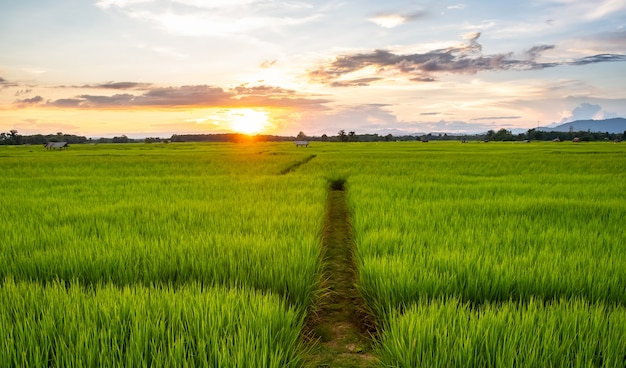 若い稲と畑の小道。小道のある田んぼ。水田の真ん中の小道。