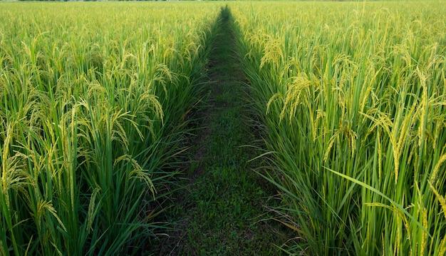 젊은 쌀과 필드의 통로. 통로와 쌀 필드. 논 중간에 통로입니다.
