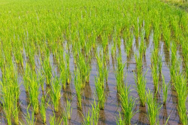 Молодой рис растет на рисовых полях
