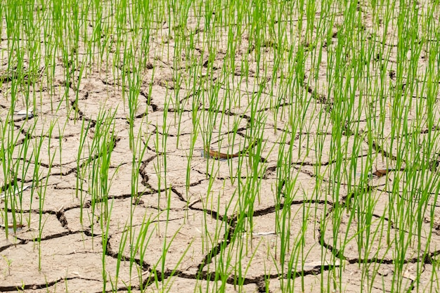 Young rices field growing in dry land or mud flat