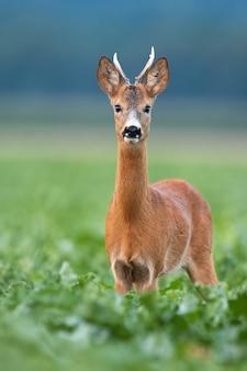 Молодой олень косули смотрит в камеру в вертикальной композиции на поле