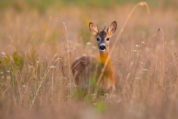 Молодой самец косули смотрит в камеру на сухом поле летом