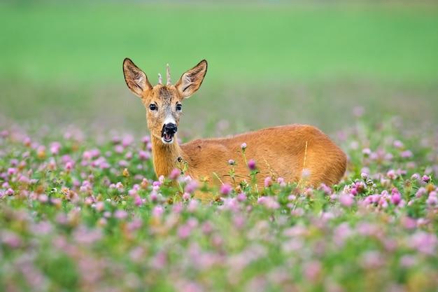 Самец оленя молодых косуль стоя в зацветая клевере во время лета.