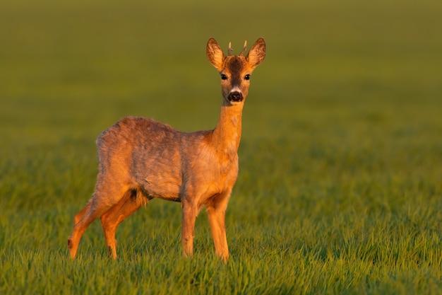 Молодой олень косули стоит на лугу в весенний закат