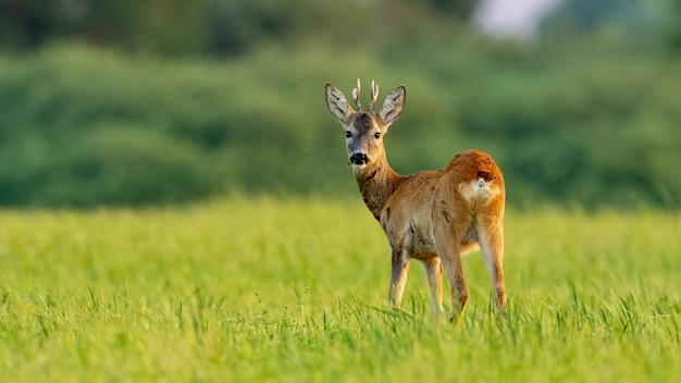 Young roe deer buck in summer at sunset