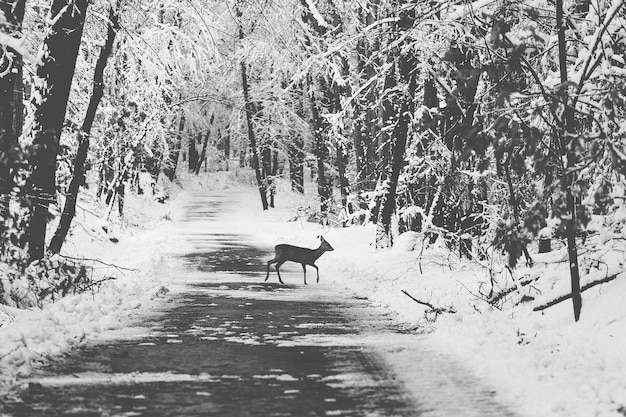 Young roe deer in a winter snow covered forest