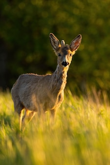 Young roe deer with growing antlers standing on field in sunlight