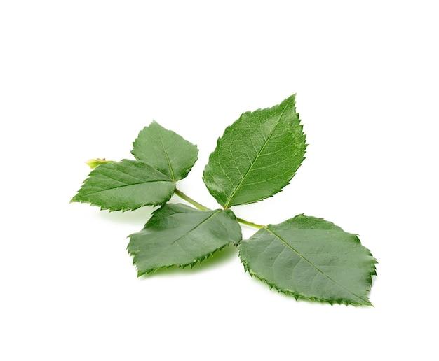 Ветка молодой розы с зелеными листьями на белой поверхности, крупным планом