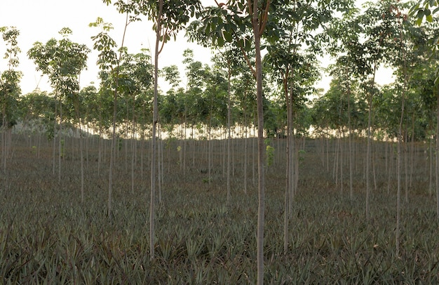 Young rubber tree farm that produces the latex against with the sky at sunset.