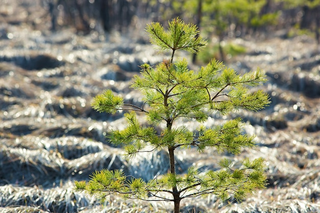 Young sapling pine tree.