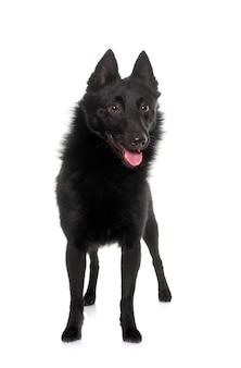 Молодая собака шипперке перед белым