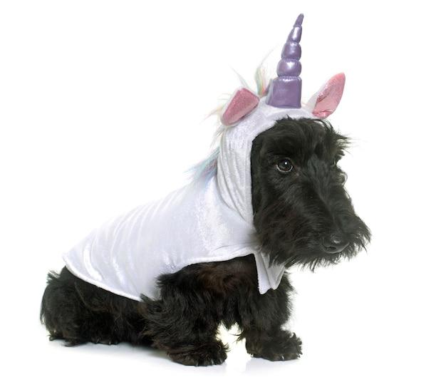 Young scottish terrier unicorn