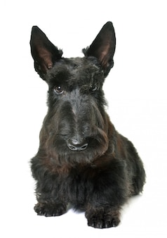 Young scottish terrier