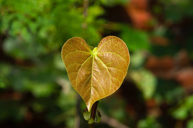 A young sea hibiscus (hibiscus tiliaceus) leaf, coast cottonwood, a symbol of love and a spade bridge card, in shallow focus