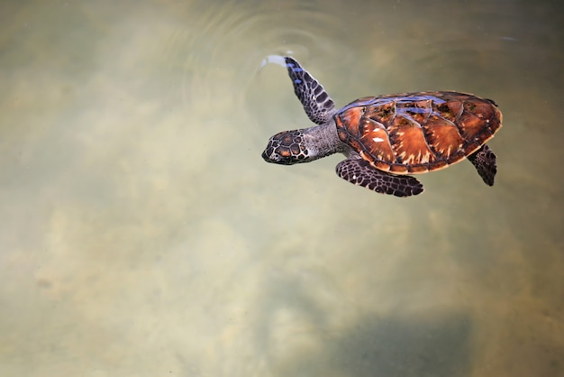Young sea turtle swimming in nursery pool at breeding center.
