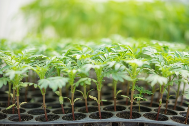 プラスチックシードトレイの若い苗マリーゴールド植物。