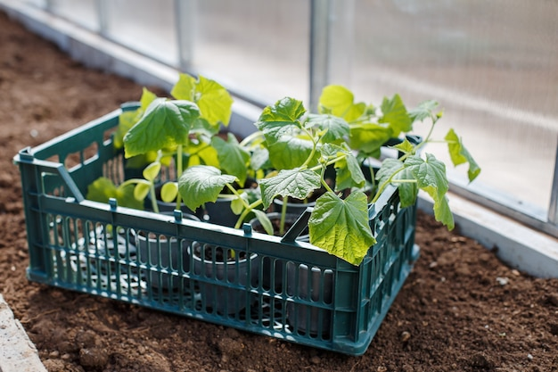 Young seedlings of cucumbers in a box