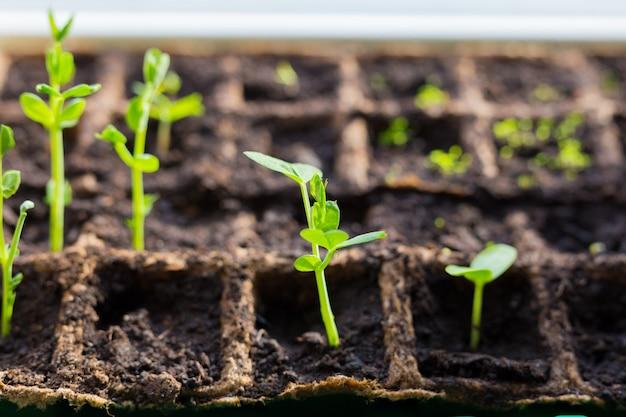 温室の窓枠エンドウ苗のトレイに若い苗。