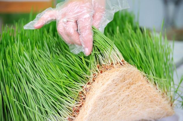 녹색 밀 콩나물의 젊은 묘목을 닫습니다. 유기농 제품.