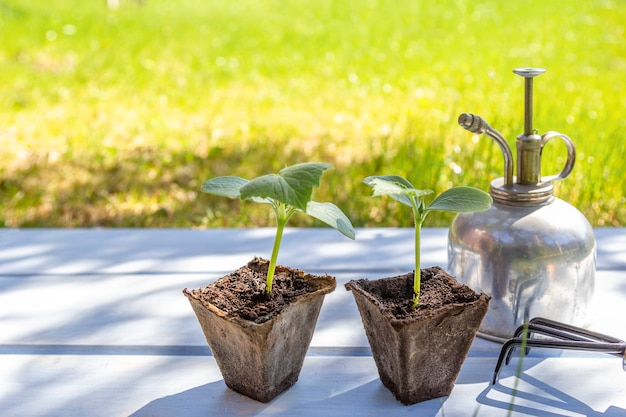 Young seedlings in peat pots with gardening tools on wooden table