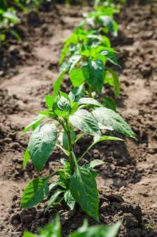 Young seedlings of pepper in the open field on the agricultural field