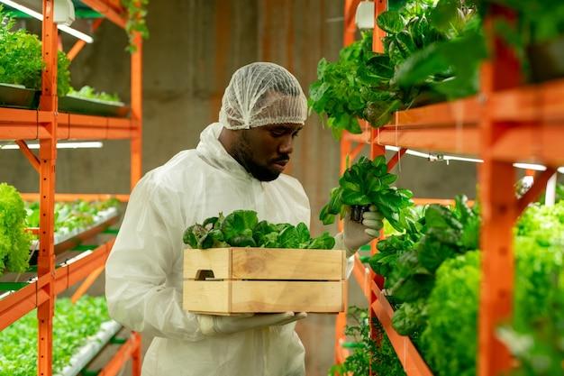 Молодой серьезный агроинженер африканской национальности держит деревянный ящик с зелеными саженцами шпината во время работы на большой вертикальной ферме