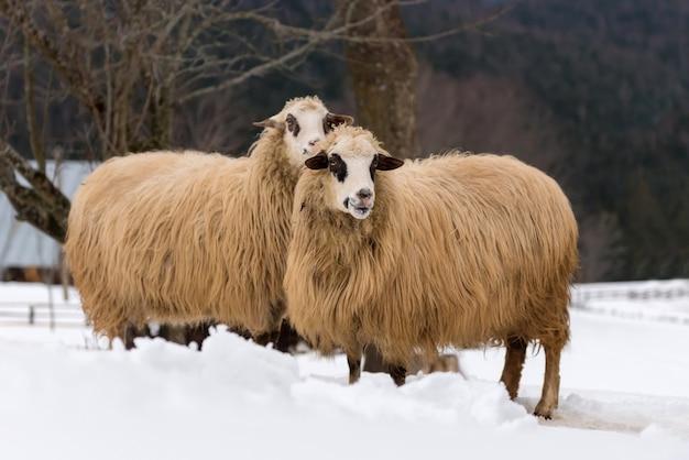 Молодые овцы в горах зимой