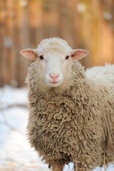 Молодые овцы в зимний день
