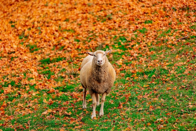Young sheep and yellow leaves on green grass