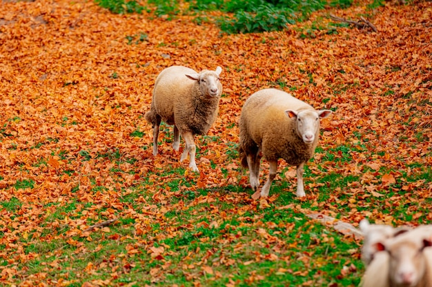 Young sheeps and yellow leaves on green grass