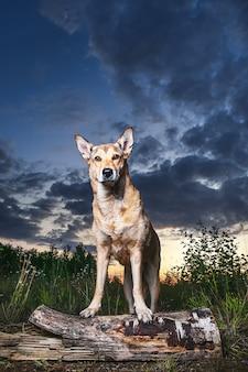 Молодая овчарка стоит на бревне, охраняя место во время прогулки в лесу на закате