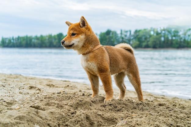 川の近くの砂で遊ぶ若い柴犬犬