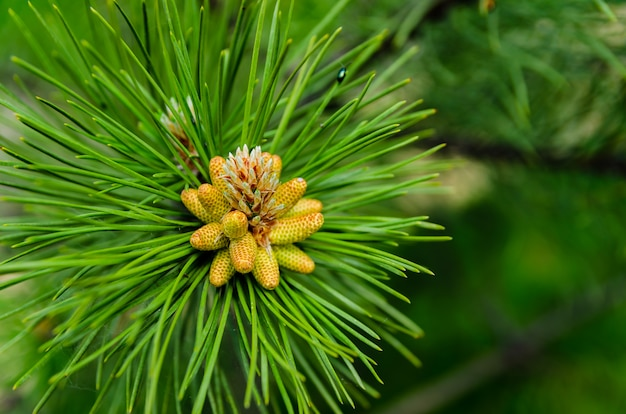 Young shoot on branch of green lush pine. spring renewal of trees, the formation of new cones on the pine.