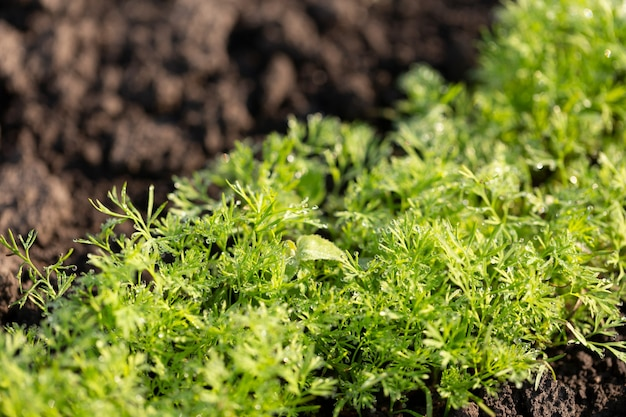 Young shoots of dill and parsley on plowed land, agriculture concept