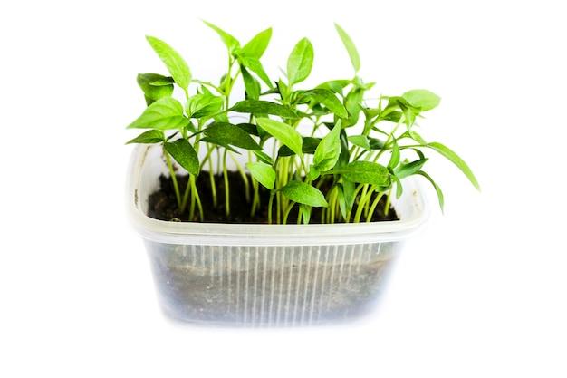 白い背景で隔離の特別なコンテナ着陸のピーマンの苗の若い芽