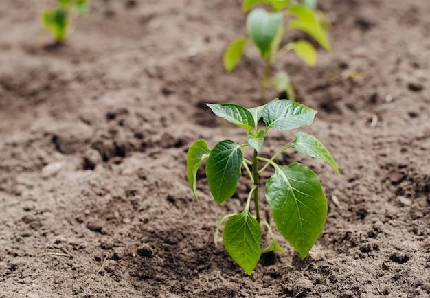 Молодые побеги рассады болгарского перца. крупным планом вид молодых ростков паприки в почве.