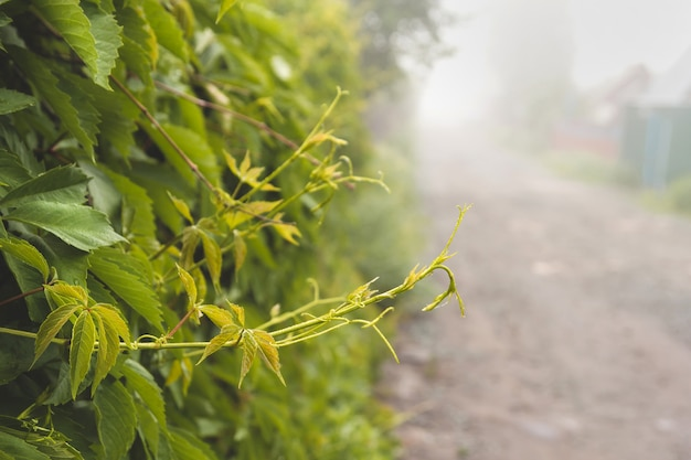 Young shoots of wild grapes on a foggy summer morning.