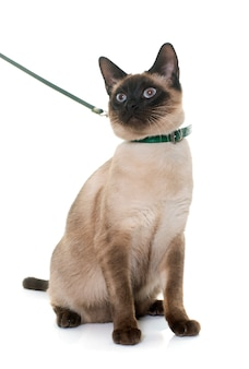 Young siamese cat