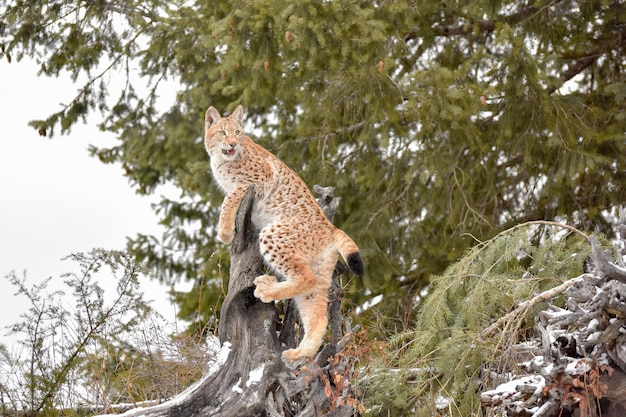 Young siberial lynx climbing a stump in a pine forest in winter