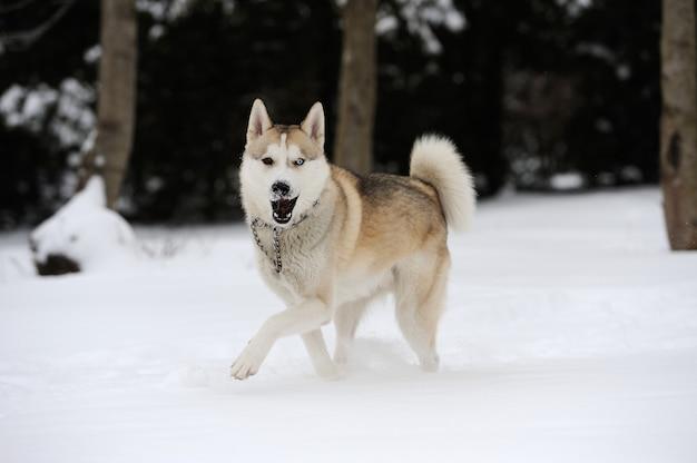 雪の中で若いシベリアンハスキー犬
