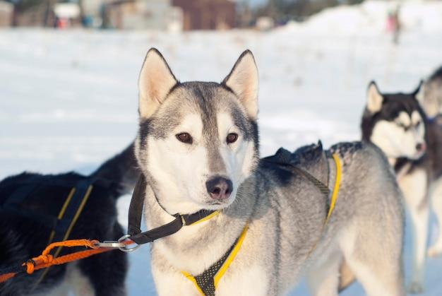犬ぞりレースの開始前にハーネスで若いシベリアンハスキー
