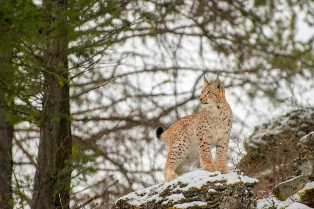 Young siberian lynx standing atop a rock in front of pines in winter