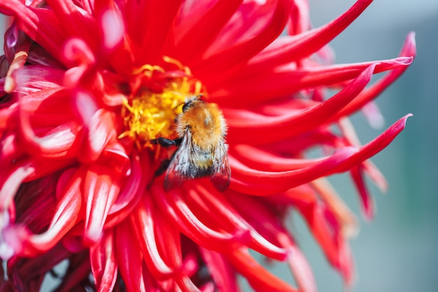 Young smal bumblebee in red flower macro photo