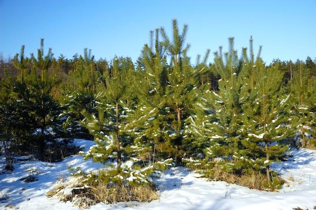 冬の曇りの日、雪の吹きだまりに囲まれた森の中に、雪に覆われた若いクリスマスツリーが生えています。森林保育園の森林生産と木工プラントの概念