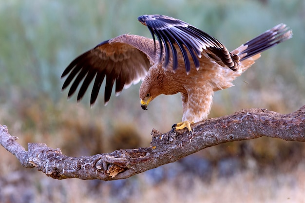 Young spanish imperial eagle. aquila adalberti