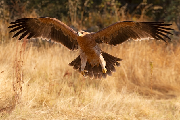 Young spanish imperial eagle flying, aquila adalberti