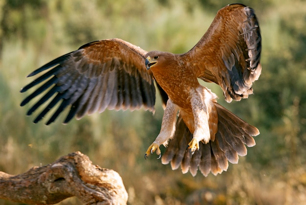 Young spanish imperial eagle flying. aquila adalberti