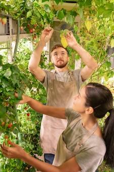 작은 온실에 서서 베리 식물 잎을 검사하는 앞치마의 젊은 전문가